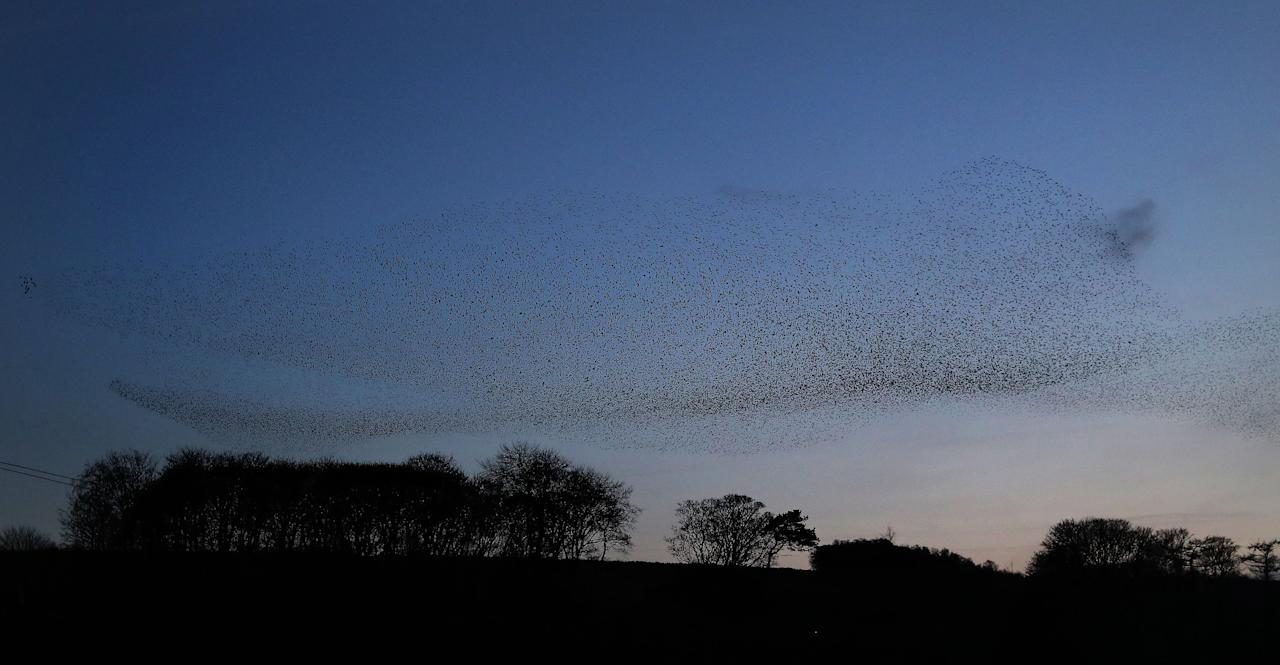 <p>A murmuration of starlings at dusk over Blenkinsopp Castle Home Park in Northumberland. (PA) </p>