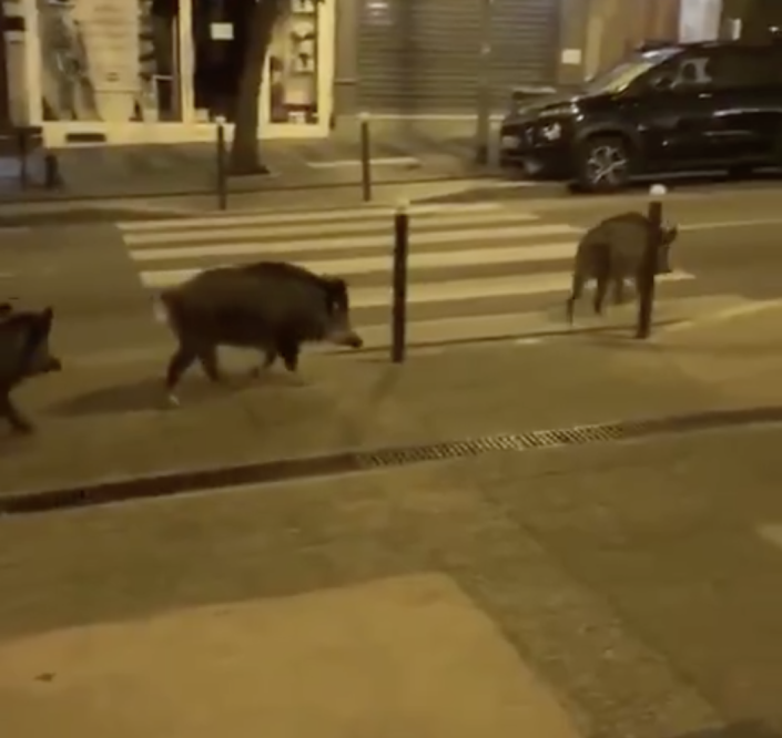 Wild boar were also seen roaming the streets of Paris. (TWITTER/@TheGallowBoob)
