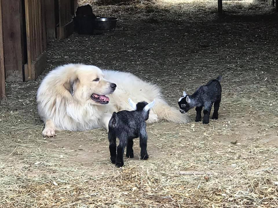 Great Pyrenees with two black baby goats