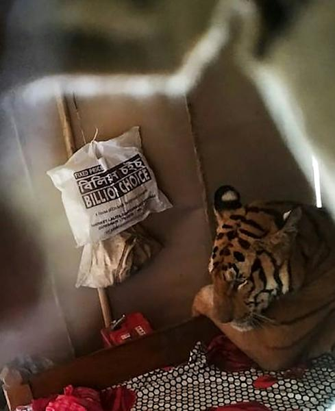 Rangers kept a close eye on a tiger that sought shelter from the monsoon rains in a village shophouse (AFP Photo/Handout)
