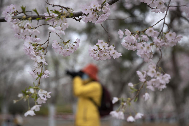 A visitor wearing a face mask takes photos near cherry blossoms at the Yuyuantan Park in Beijing on Thursday, March 26, 2020. While many of the city's world-famous tourist sites, including the sprawling Forbidden City ancient palace complex, remain closed due to the coronavirus outbreak, spring weather and budding cherry blossoms are coaxing outdoors citizens who have been largely confined to home for the last two months. (AP Photo/Ng Han Guan)