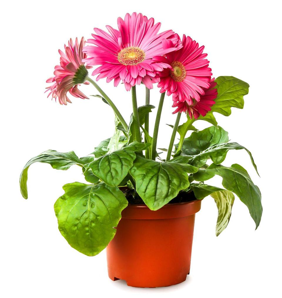 """<p>The pink, red, yellow, and orange flowers may look sweet and dainty, but they pack a lot of power—the gerbera daisy was one of the top performers in <a href=""""https://ntrs.nasa.gov/archive/nasa/casi.ntrs.nasa.gov/19930073077.pdf"""" rel=""""nofollow noopener"""" target=""""_blank"""" data-ylk=""""slk:NASA's experiments"""" class=""""link rapid-noclick-resp"""">NASA's experiments </a>with air-cleaning plants. It thrives in moderate indoor light, so try to find a spot that gets sunshine in the morning and shade in the afternoon.</p><p><a class=""""link rapid-noclick-resp"""" href=""""https://www.amazon.com/Three-Company-Healthy-Live-Assorted/dp/B07P83MB7Q/?tag=syn-yahoo-20&ascsubtag=%5Bartid%7C2141.g.28325586%5Bsrc%7Cyahoo-us"""" rel=""""nofollow noopener"""" target=""""_blank"""" data-ylk=""""slk:SHOP GERBERA DAISIES"""">SHOP GERBERA DAISIES</a></p>"""