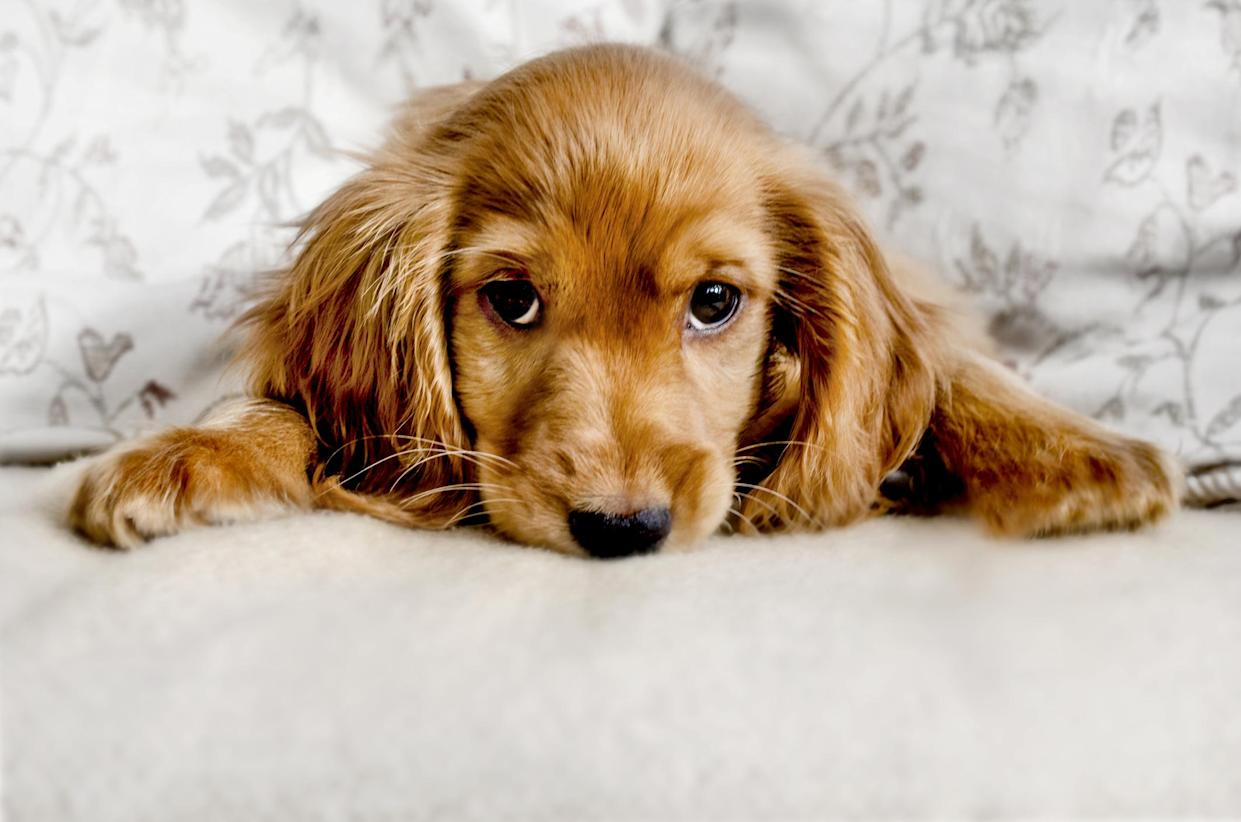 <em>Research – one in three people do less than two hours' research before buying a puppy, the Kennel Club's poll found (Picture: Getty)</em>