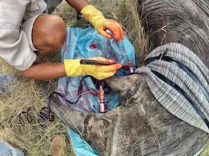 A conservationist is screwing a dye connector into a white rhino's horn using an ordinary wrench.