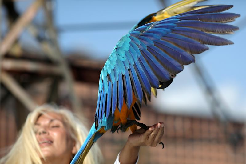 A macaw lands in Carmen Borges' hand while she stays at a rooftop of a building in Caracas, Venezuela, June 12, 2019. Picture taken June 12, 2019. (Photo: Manaure Quintero/Reuters)
