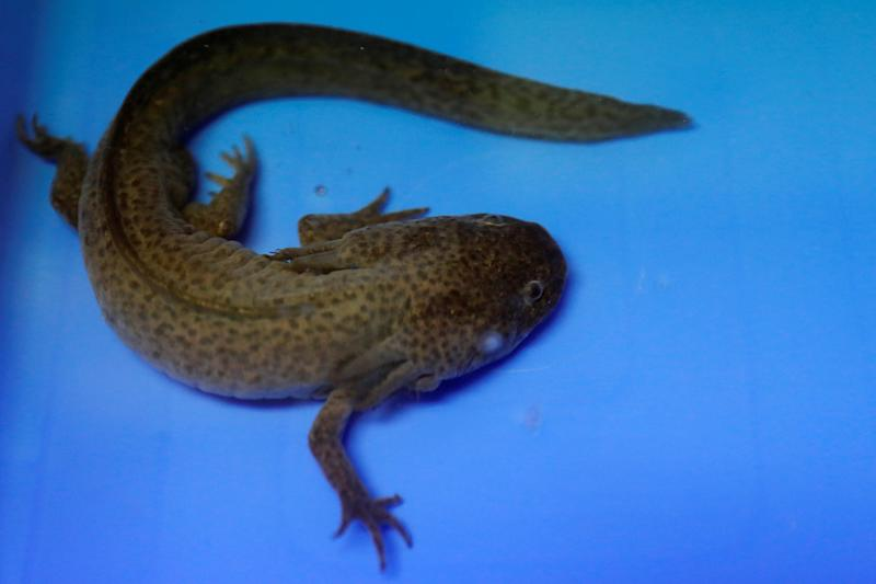 An axolotl is pictured at the Biology Institute of the National Autonomous University of Mexico (UNAM) in Mexico City