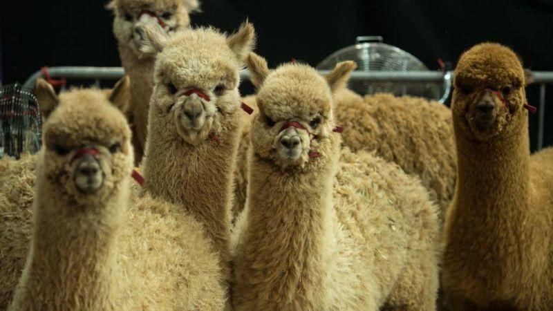 Group of fluffy alpacas looking at camera