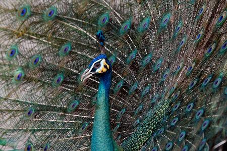 FILE PHOTO: A peacock spreading its feathers is seen at the Wat Phra Dhammakaya temple, in Pathum Thani province