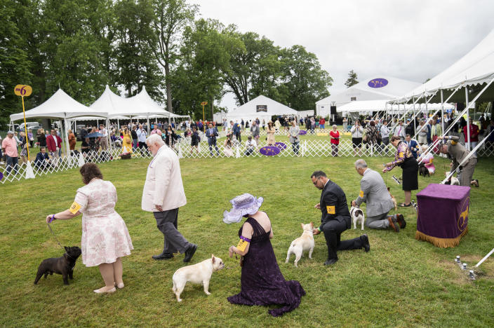 Captain, a French bulldog, second from left, participates in breed judging at the 145th Annual Westminster Kennel Club Dog Show, Saturday, June 12, 2021, in Tarrytown, N.Y. (AP Photo/John Minchillo)