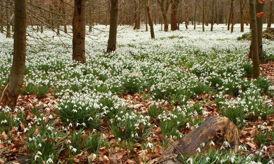 Snowdrops in a beech forest in Berkshire.