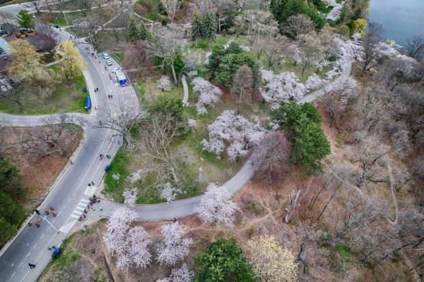 High Park cherry blossoms in bloom on 27 Apr 2021. Again this year, the city has fenced-off the blossoming trees due to COVID-19