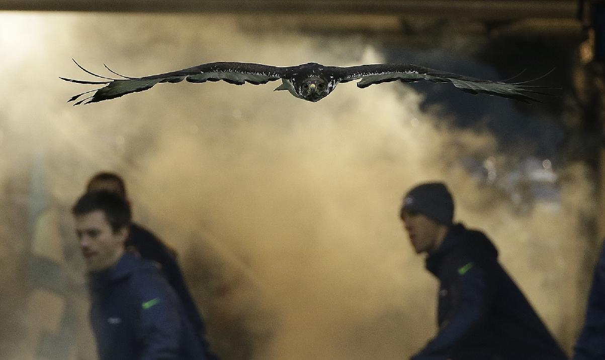 An Augur Hawk named Taima flies before the NFL football NFC Championship game between the Seattle Seahawks and the San Francisco 49ers Sunday, Jan. 19, 2014, in Seattle. (AP Photo/Matt Slocum)