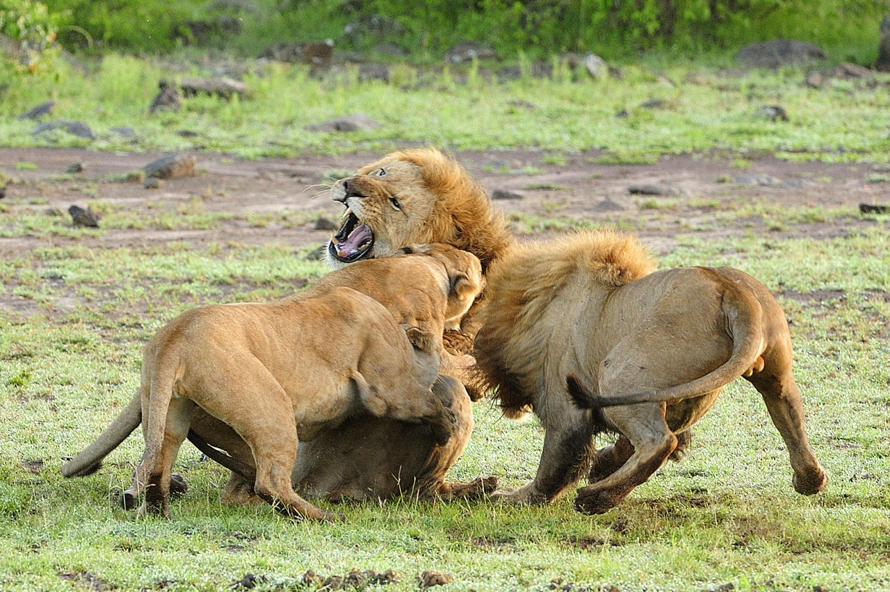PIC FROM GUZELIAN / CATERS NEWS  - (PICTURED The lioness fight back and attack the lions) Now thats what you call a cat fight! - These protective lionesses refuse to take it LION down when a male approaches their cubs, and all hell breaks loose among the pride. The cat fight is a bitter battle between the male and female beasts, who savagely erupt into a ferocious battle in the Mara Triangle, within the heart of the Masai Mara in Kenya, Africa. - SEE CATERS COPY **NOT FOR SALE / USE IN THE UK**