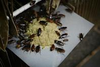 """In China cockroaches are dubbed """"Little Strong"""" because they can live for days even after being cut in half"""