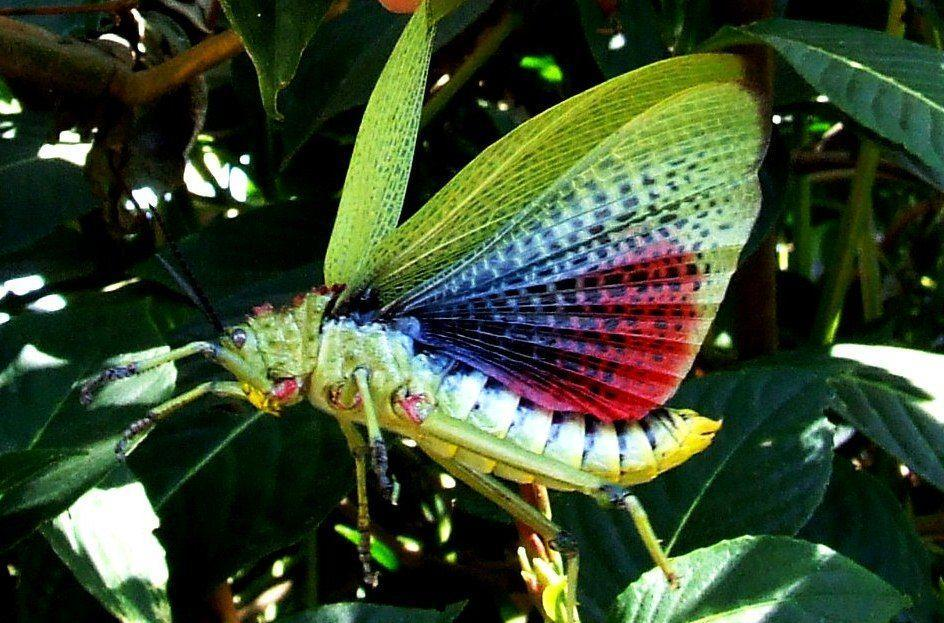 """<p><strong>What it is</strong>: <em>Phymateus viridipes</em></p><p><strong>Where it's from</strong>: Southern Africa</p><p><strong>What to know</strong>: These locusts flash their colorful wings to <a href=""""https://www.biodiversitylibrary.org/part/15188"""" rel=""""nofollow noopener"""" target=""""_blank"""" data-ylk=""""slk:warn predators"""" class=""""link rapid-noclick-resp"""">warn predators</a>—and it's actually pretty helpful, since they secrete a liquid derived from milkweed plants when threatened.</p>"""