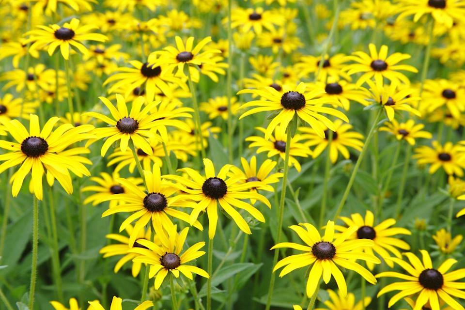 "<p>Black-eyed Susans should be in your garden! They're not fussy, have a long bloom time, and boast a sunny look that works in any landscape, no matter the style. They attract butterflies and bloom from mid-summer until mid-fall. Read the tag because some are perennial, while others only last two years (biennial), so they're treated as annuals and replanted every year. Black-eyed Susan requires full sun.</p><p><a class=""link rapid-noclick-resp"" href=""https://www.americanmeadows.com/perennials/black-eyed-susan/black-eyed-susan-goldsturm"" rel=""nofollow noopener"" target=""_blank"" data-ylk=""slk:SHOP BLACK-EYED SUSAN"">SHOP BLACK-EYED SUSAN</a></p>"