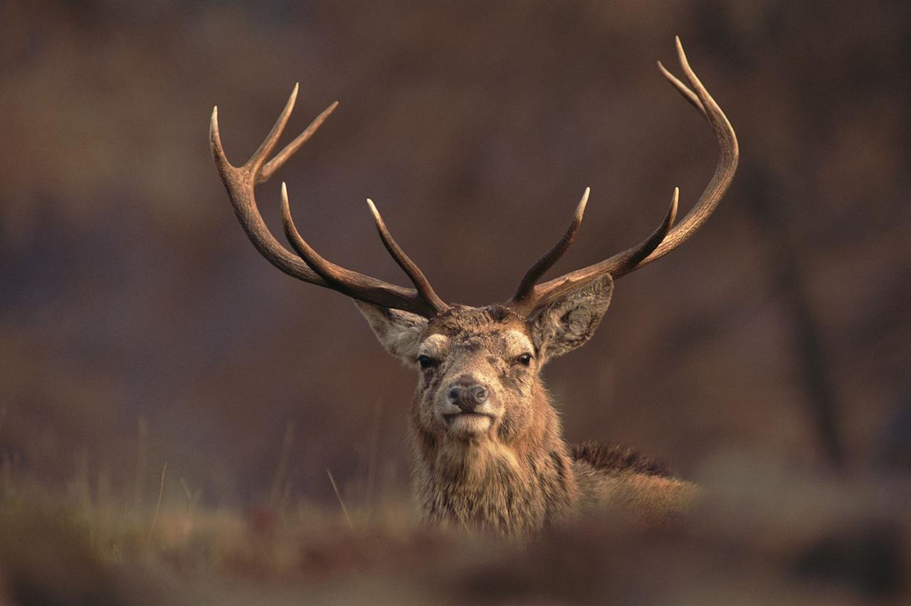 "<p>Early October is the most exciting time of year to experience the sights and sounds of mighty stags rutting at dawn in the Scottish Highlands. It's home to the three main species of deer – red, fallow and sika – and provide an iconic backdrop for these fierce battles over potential mates.<br></p><p><a class=""body-btn-link"" href=""https://go.redirectingat.com?id=127X1599956&url=https%3A%2F%2Fwww.holidaycottages.co.uk%2Fthe-highlands&sref=https%3A%2F%2Fwww.countryliving.com%2Fuk%2Fwildlife%2Fg23279328%2Fbest-ideas-autumn-breaks-uk%2F"" target=""_blank""> BROWSE COTTAGES IN THE HIGHLANDS</a></p><p>Want to see the Scottish Highlands next year? Read all about our Scottish steam trip and ride the impressive Jacobite in summer 2021.</p><p><a class=""body-btn-link"" href=""https://www.countrylivingholidays.com/tours/scotland-highlands-steam-train-jacobite"" target=""_blank"">FIND OUT MORE</a></p>"