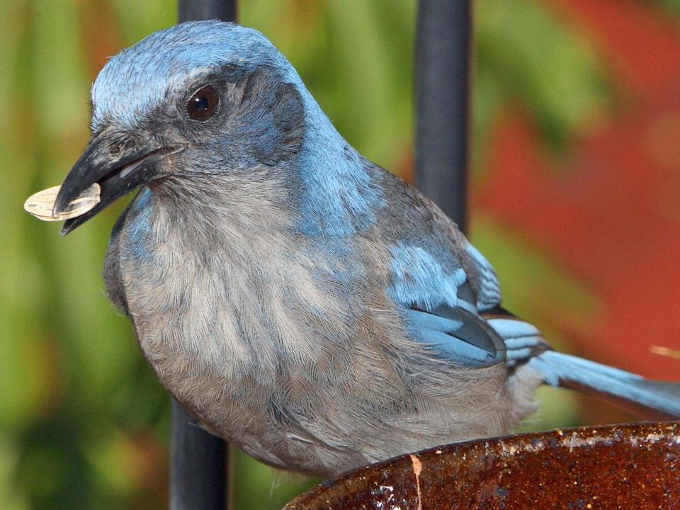 A scrub jay, native to the western US and Mexico, feeding on seeds (Omar Torres/AFP/Getty)
