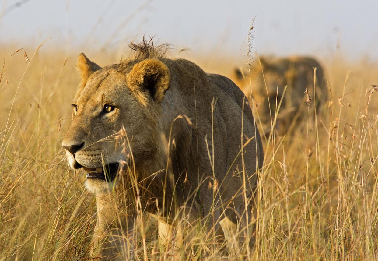 Close up of male lions on the prowl through high grass - Masai Mara, Kenya