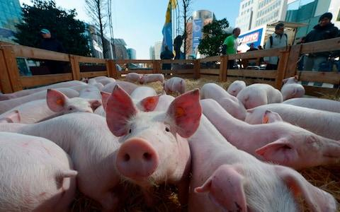 More than a million Chinese pigs have been culled since August - Credit: John Thys/AFP