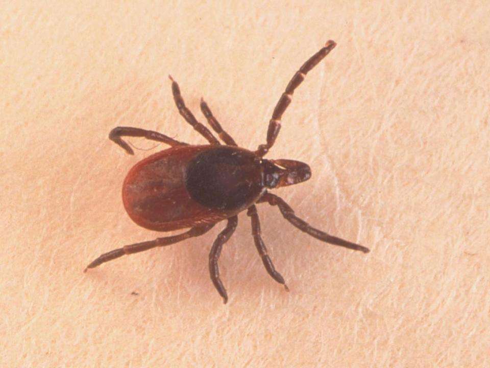 Ticks are becoming more common in parts of the UK: Getty