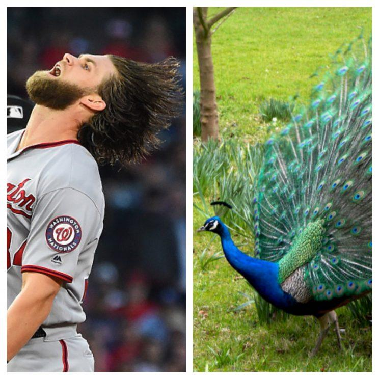 Bryce Harper vs. peacock is the matchup you didn't know you needed. (Getty)