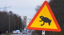 Estonian capital closes traffic to let frogs cross the road