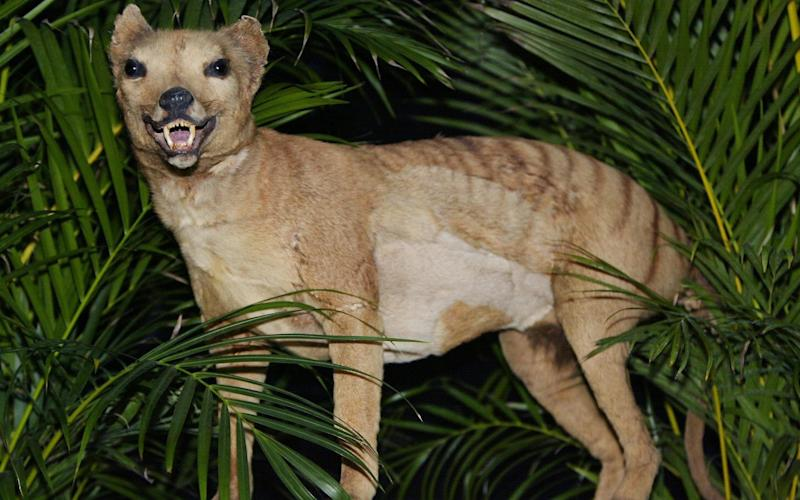 A stuffed Tasmanian tiger (Thylacine) at the Australian Museum in Sydney - Credit: AFP