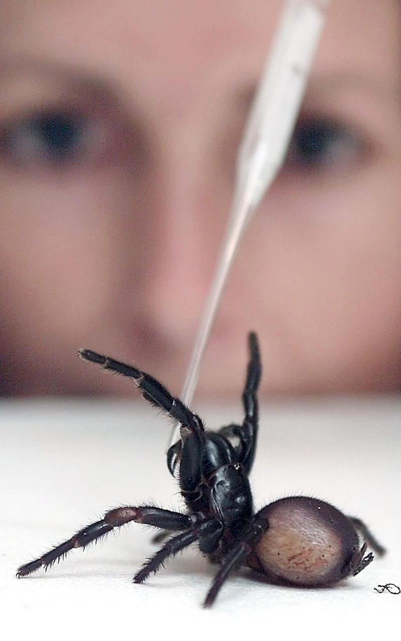 The venom from a deadly funnel-web spider is extracted at the Australian Reptile Park in Sydney - Credit: AFP