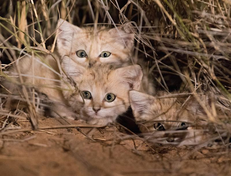 Three sand cat kitten captured on camera in the wild for the first time: Gregory Breton/Panthera