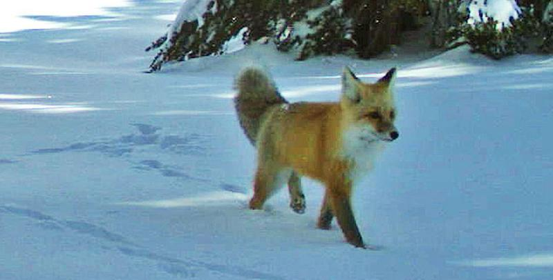 A Sierra Nevada red fox walks by a wildlife camera in Yosemite National Park in 2014. (Photo: ASSOCIATED PRESS)