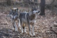 Two Mexican wolves named Valentia and Diego walk inside a pen at the Wolf Conservation Center in South Salem, New York