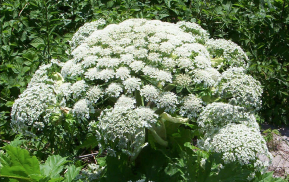 Avoid at all costs: What makes giant hogweed so dangerous