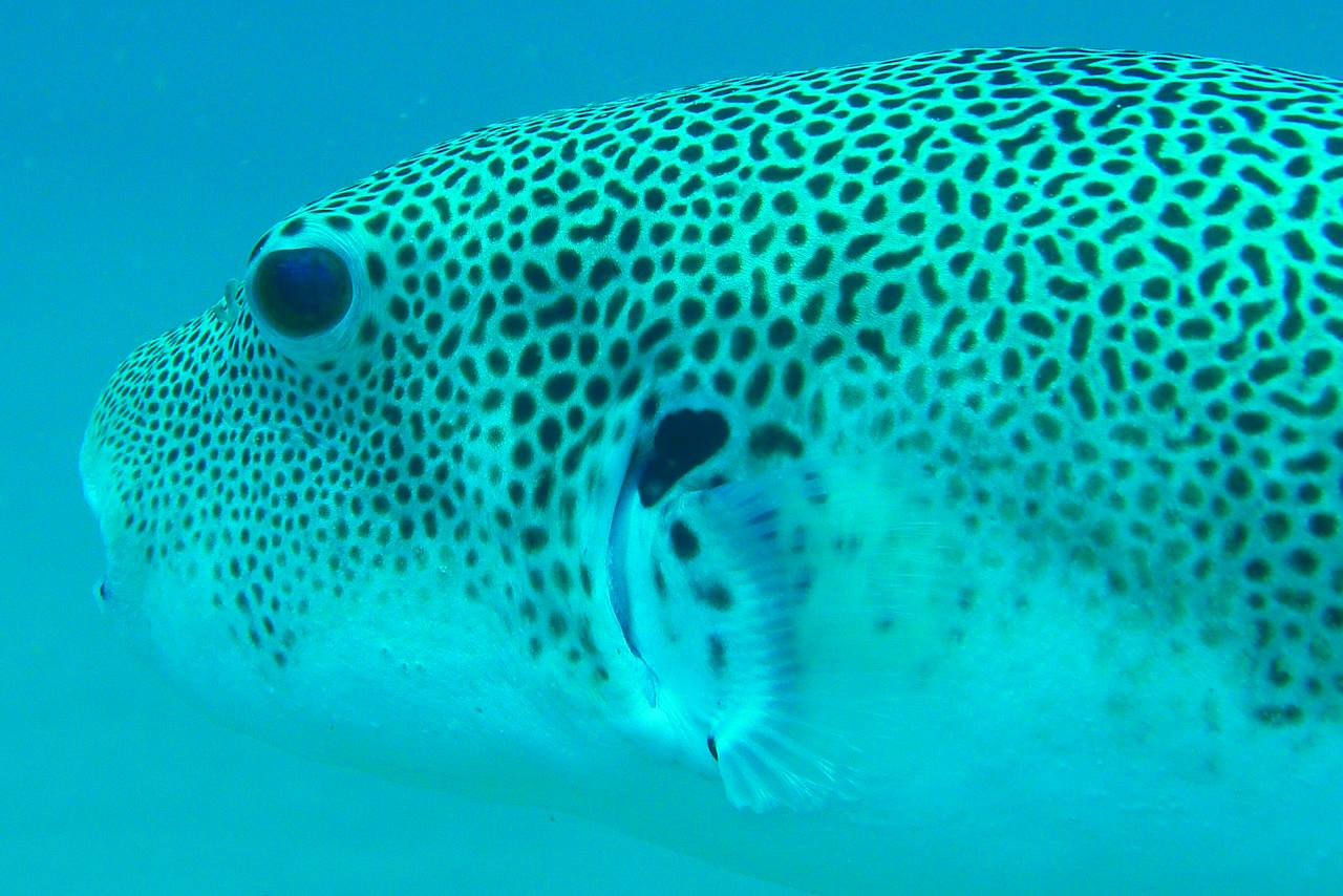 The colourings of this Spotted Puffer Fish brings to mind the coat and camouflage of leopards and cheetahs.