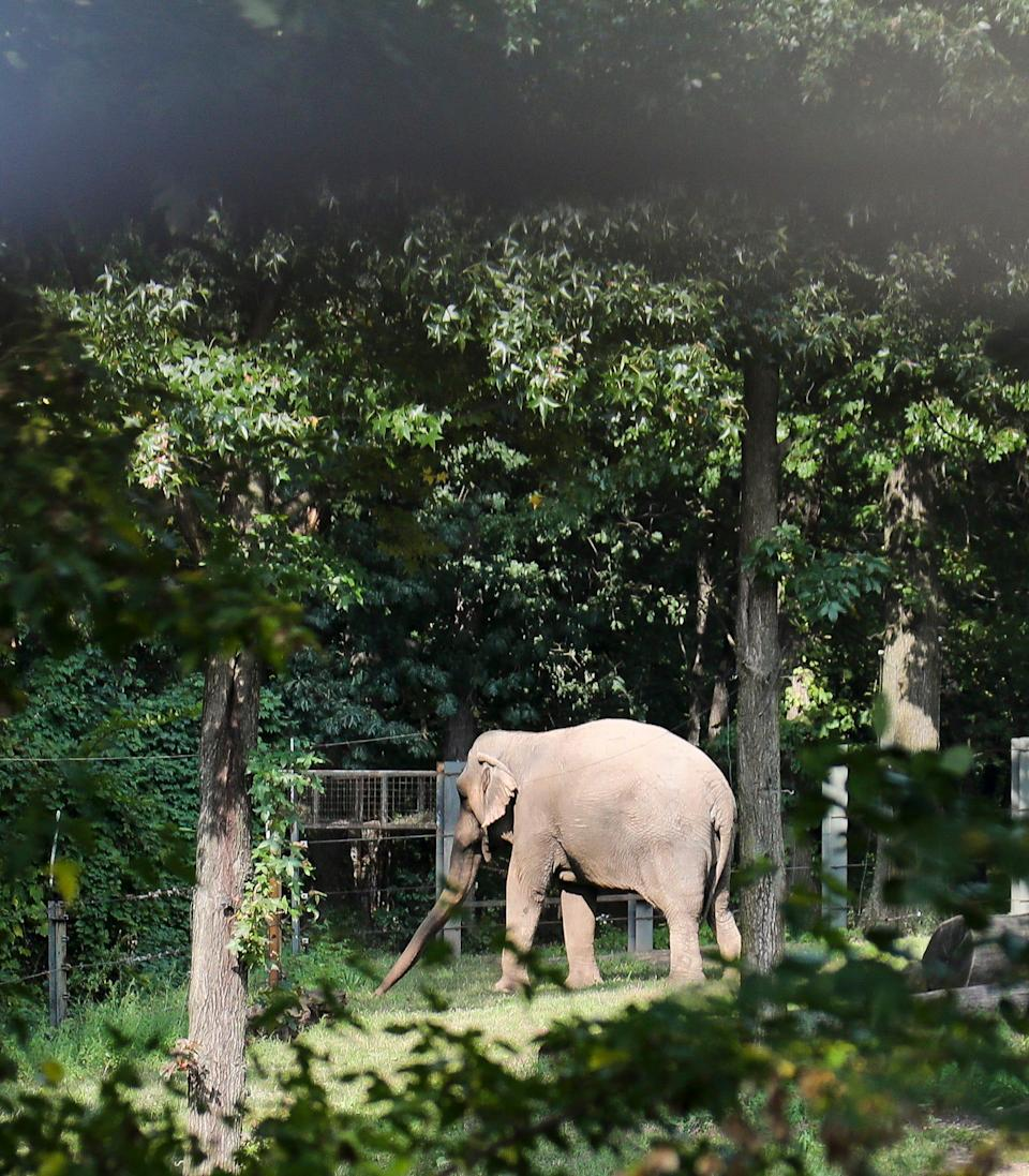 """Bronx Zoo elephant """"Happy"""" strolls in a habitat inside the zoo's Asia display, Tuesday Oct. 2, 2018, in New York."""
