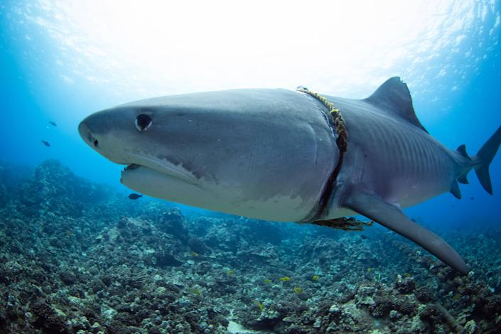 <p>It is not known how the rope got wrapped around the shark</p> (Mediadrumimages / Jason Lafferty)