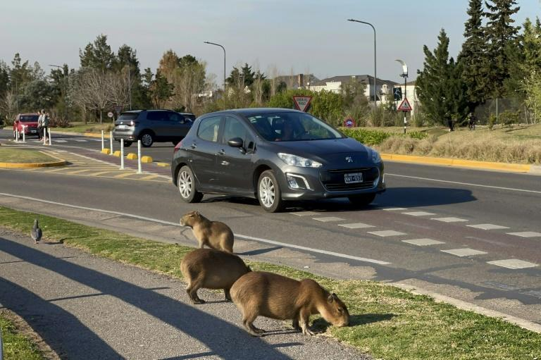 Capybaras eating grass in a luxury gated community in Buenos Aires (AFP/MAGALI CERVANTES)
