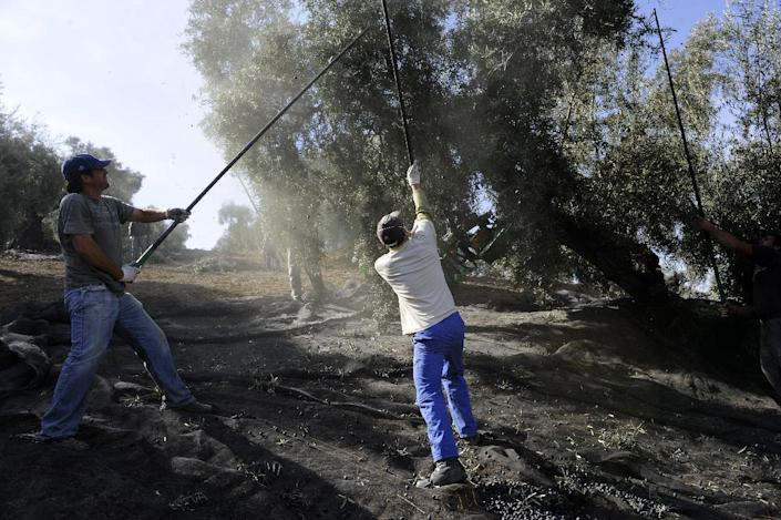 Workers remove olives from trees on a farm in the southern Spanish village of Iznajar on March 6, 2012 (AFP Photo/Cristina Quicler)