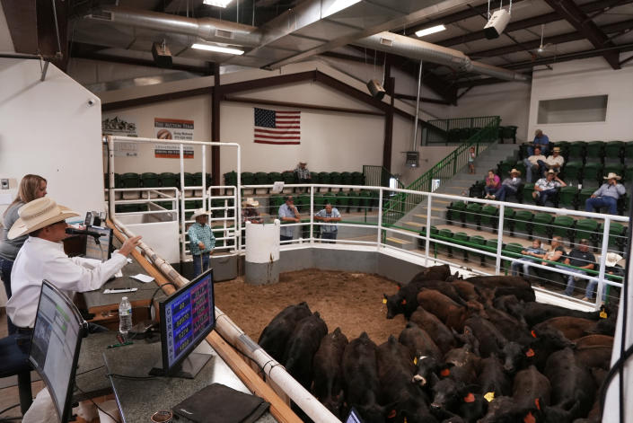 Cattle are sold at an auction at Loma Livestock, Monday, July 12, 2021, in Loma, Colo. Summer sales at the facility are bustling, even though the peak buying season isn't usually until fall, as some ranchers facing hay shortages and a severe drought are eager to unload cattle while prices are still strong. (AP Photo/Brittany Peterson)