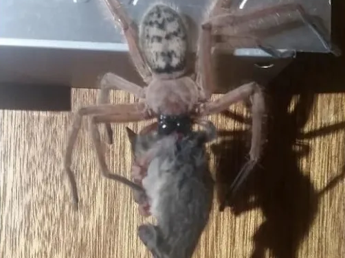 Justine Latton's husband spotted this spider devouring its prey while on a trip to a national park in Tasmania, Australia. (Justine Latton/Facebook)