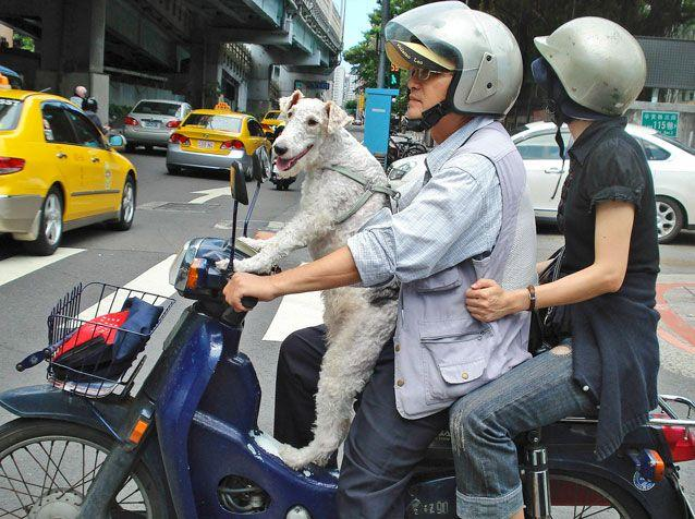 A dog stands on a scooter with his owners as they wait at an intersection in Taipei, Taiwan. Photo: AP