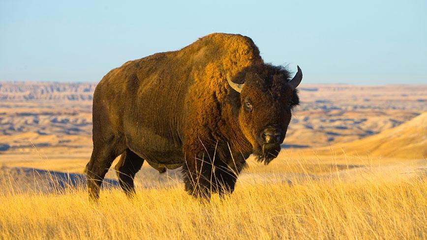 Answer: BISON and CORPS.