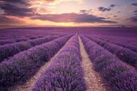 <p>Take in the wonderful scent of the flowers as you frolic through the lavender fields in Provence. </p>