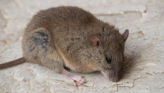 The rat-like Bramble Cay melomys has not been spotted in its habitat, which is a sandy island in far northern Australia since a decade