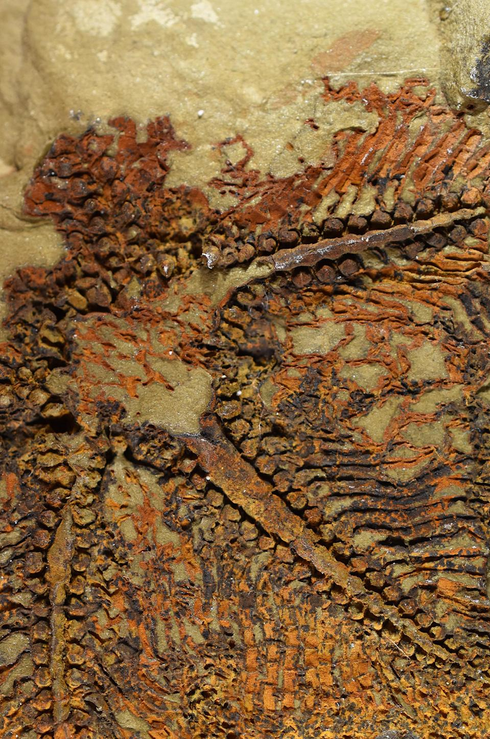 A fossil of the earliest starfish-like animal, called Cantabrigiaster fezouataensis, was discovered in Morocco. (Claude Bernard University/ PA)
