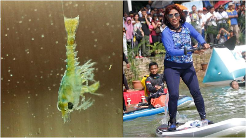 A lobster larva (left) and Indonesia's Maritime Affairs and Fisheries Minister Susi Pudjiastuti. (Getty Images file photos)