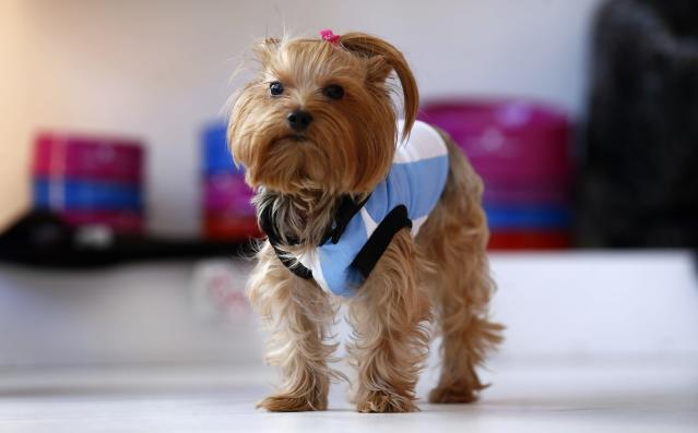 A Yorkshire Terrier named Lula wears an Argentine soccer jersey at a pet clothing store which sells Argentine soccer jerseys for dogs ahead of the 2014 World Cup, in Buenos Aires June 5, 2014. REUTERS/Marcos Brindicci (ARGENTINA - Tags: ANIMALS SOCIETY SPORT SOCCER WORLD CUP)