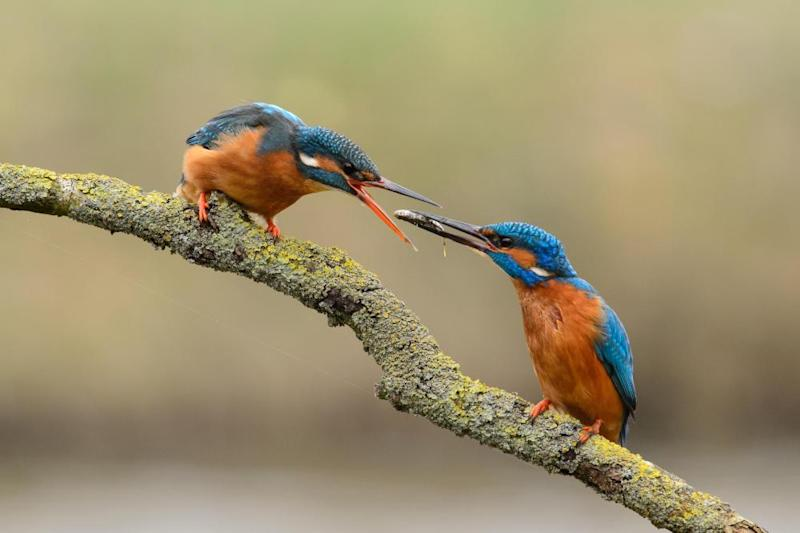 Courtship behavior of a pair of kingfishers. The male offers a fish to his female.
