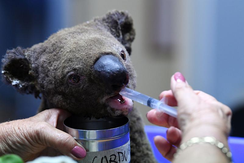 A dehydrated and injured koala receives treatment at the Port Macquarie Koala Hospital on Nov. 2 after it was rescued from a bushfire.