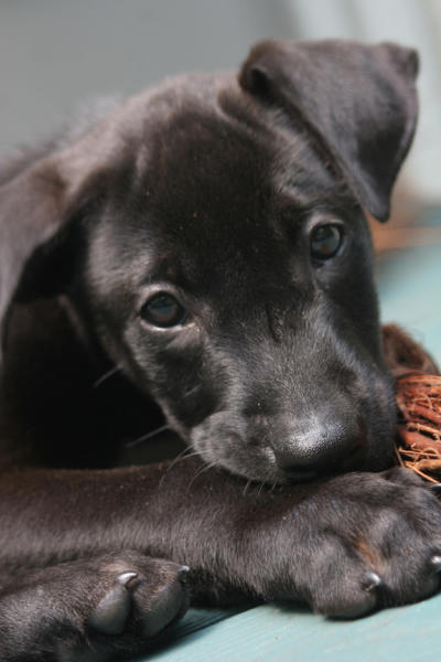 Tasmania, when still a puppy, soon after Brian Hare and Vanessa Woods adopted him.